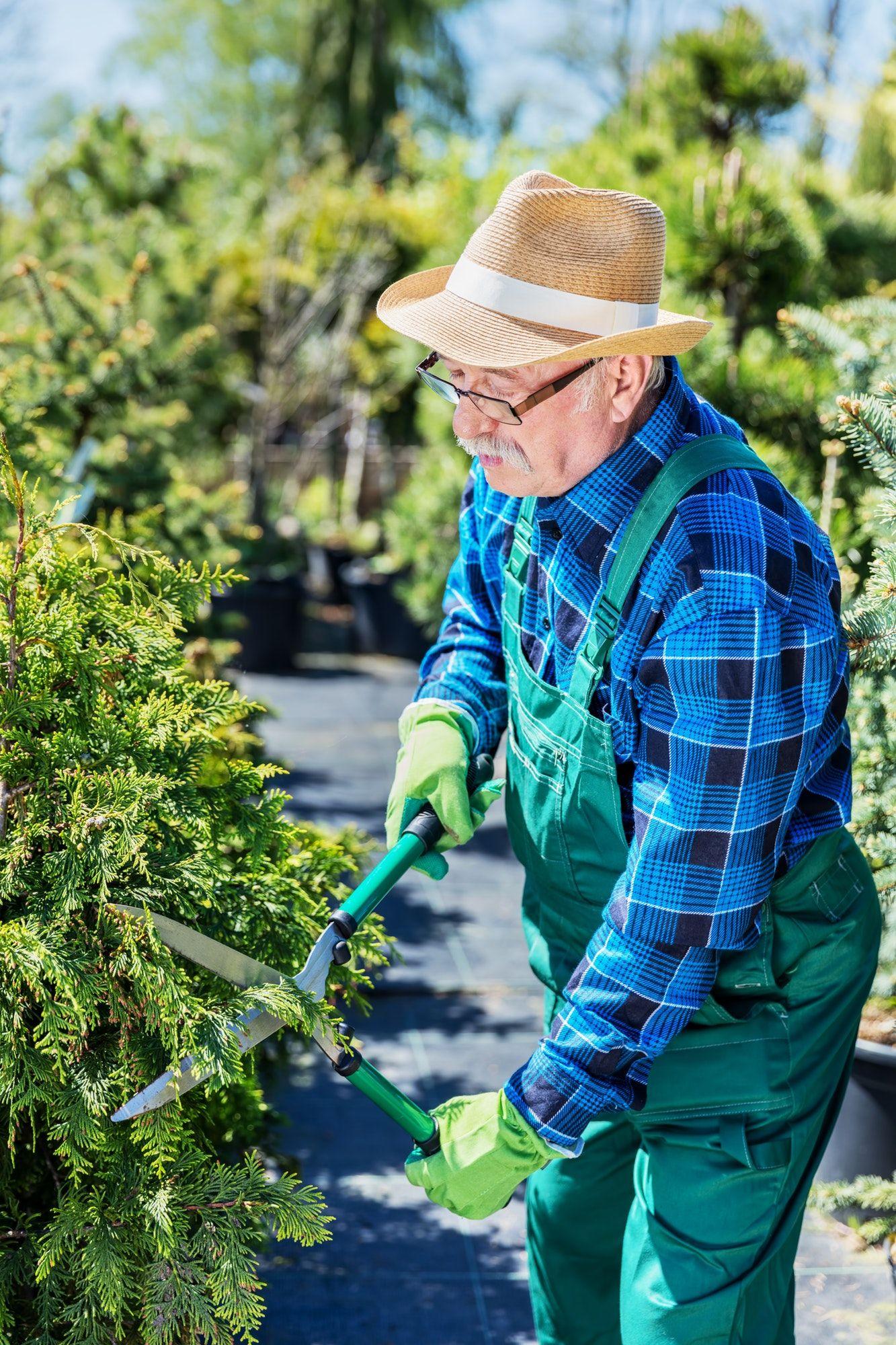 Senior gardener cutting a tree in a garden.